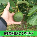 【アボカド栽培】アボカドは収穫前に肥大するものなのか!?
