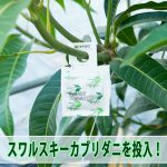 【マンゴー栽培】2017年もスリップス対策として『スワルスキーカブリダニ』を投入したよ!