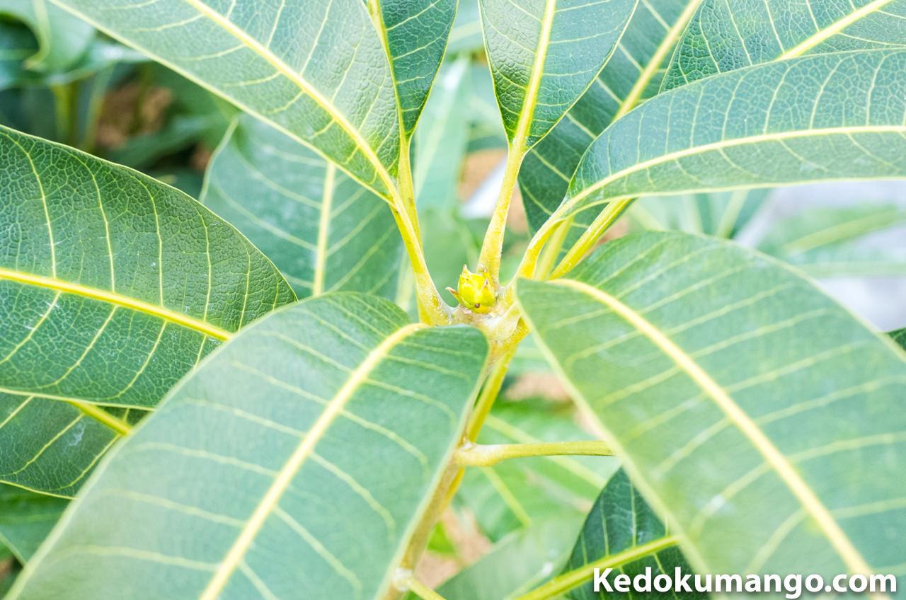 マンゴーの樹の頂部2