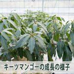他のマンゴーと比べても成長の早い【キーツマンゴー】の花芽の様子について紹介するよ!