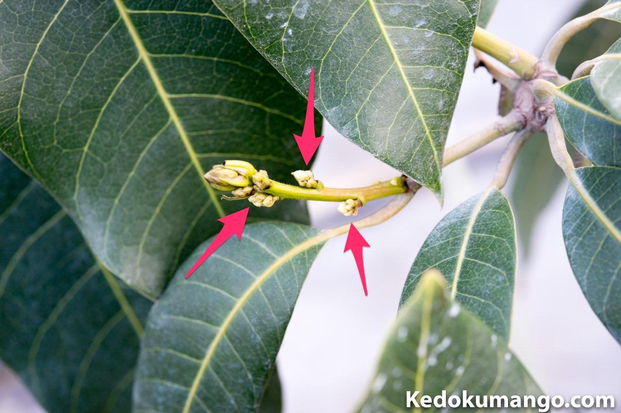 キーツマンゴーの枝の頂部