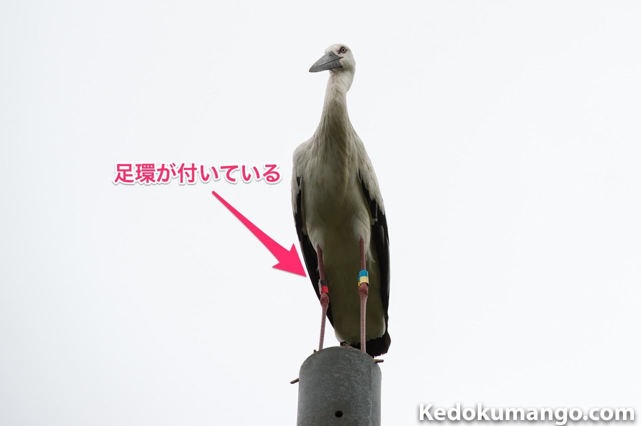 徳之島で発見したコウノトリの足環