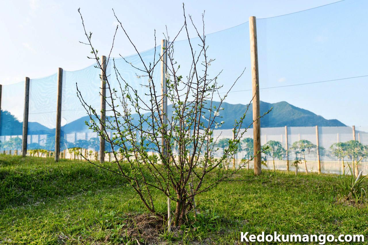 2017年3月のスモモの樹