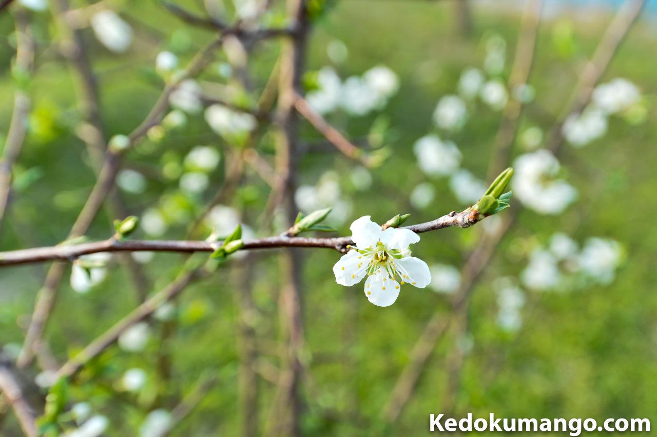 スモモの花_1