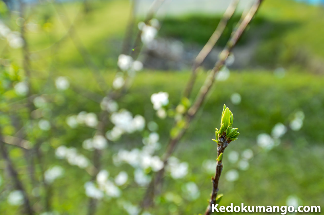 スモモの新芽