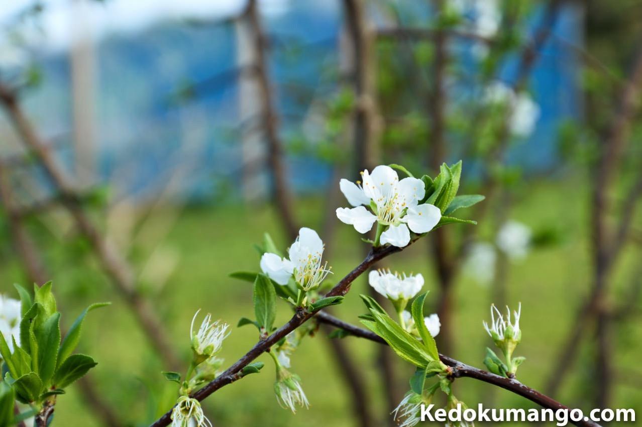 スモモの花_3