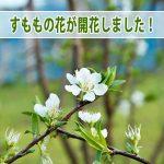 『徳之島』では爽やかな甘酸っぱさが魅力の【スモモ】が開花したよ!
