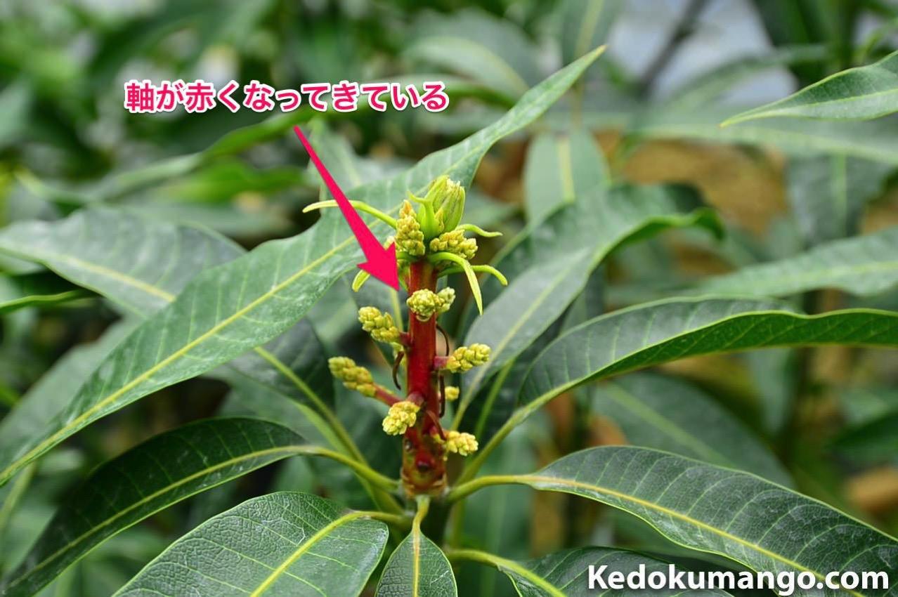 マンゴーの花軸の様子