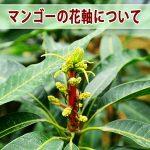 【マンゴー栽培】樹の栄養状態が確認できる花芽から伸びた「花軸」が赤く染まり始めたよ!