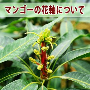【マンゴー栽培】樹の栄養状態が確認できる花芽から伸びた「花軸」が赤く染まり始めたよ! | 花徳マンゴー