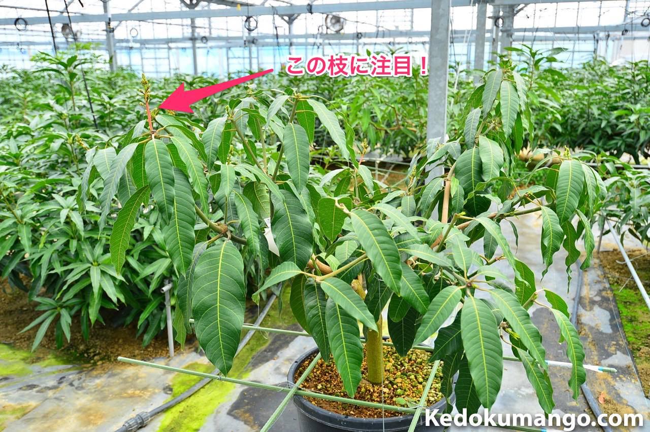 ポット鉢で栽培するキーツマンゴー