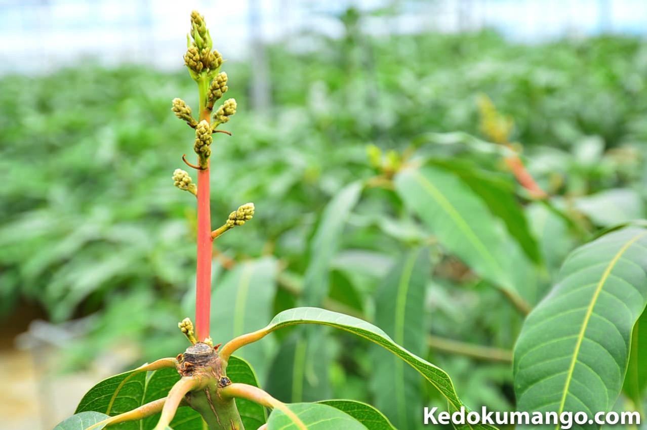 キーツマンゴーの花軸