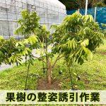 【熱帯果樹栽培】果樹の成長を楽しめる植物栽培の醍醐味『整姿誘引』を行なったよ!