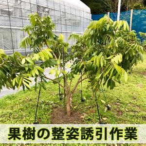 【熱帯果樹栽培】果樹の成長を楽しめる植物栽培の醍醐味『整姿誘引』を行なったよ! | 花徳マンゴー
