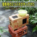 【マンゴー栽培】受粉のために「ミツバチ」の巣箱がやってきた!