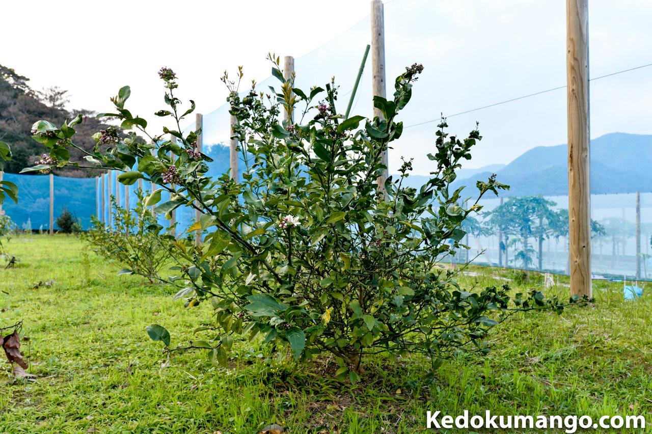 2017年のレモンの樹