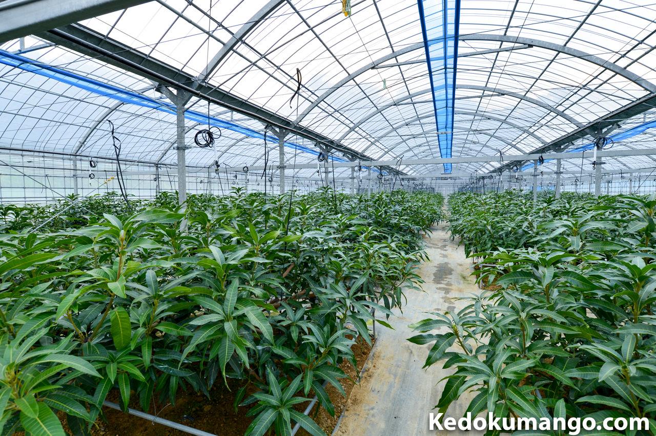 マンゴー栽培のハウス内の様子