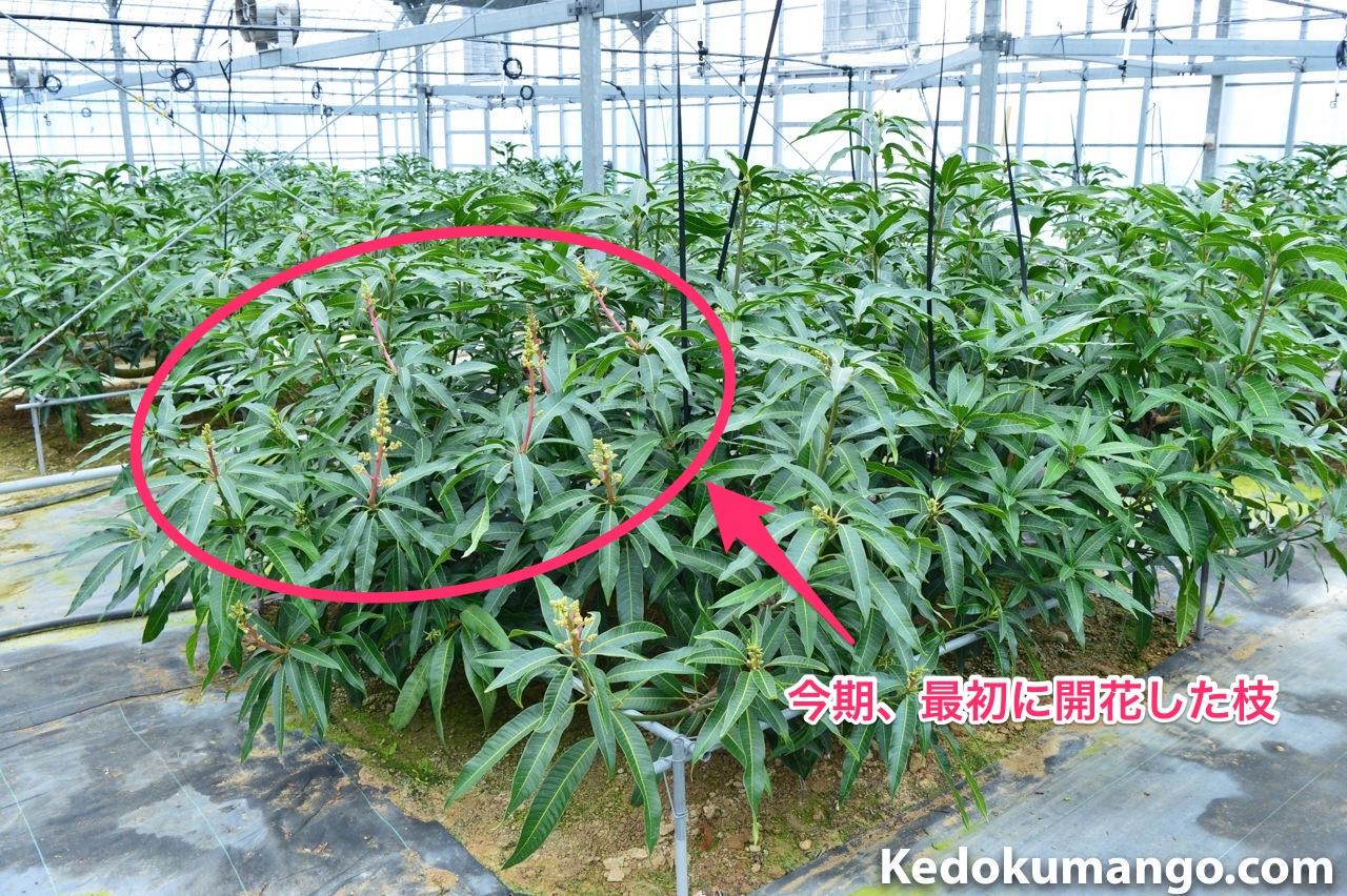 成長の早いマンゴーの樹