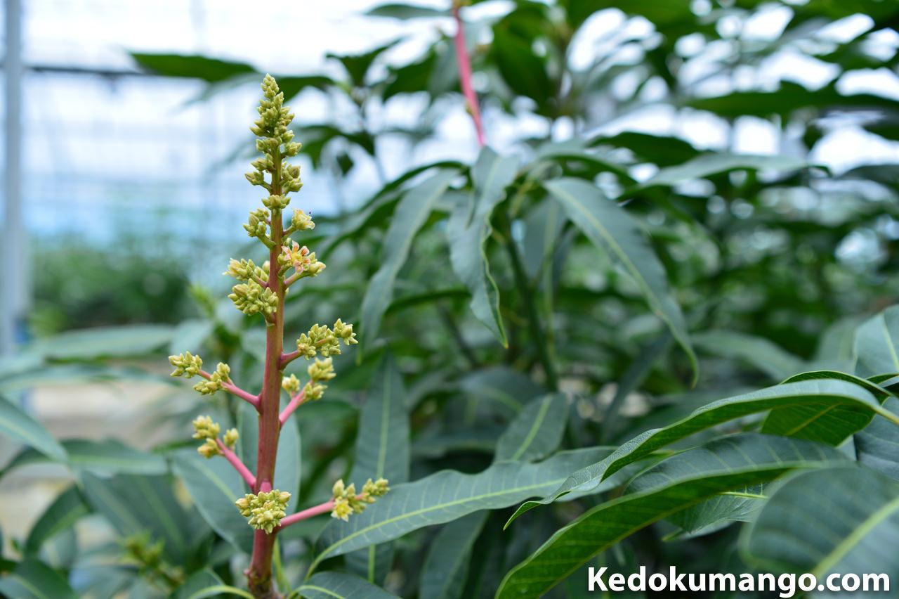 マンゴーの開花の様子