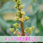 温暖な気候を活かした徳之島で育てる【マンゴー】が開花し始めました!