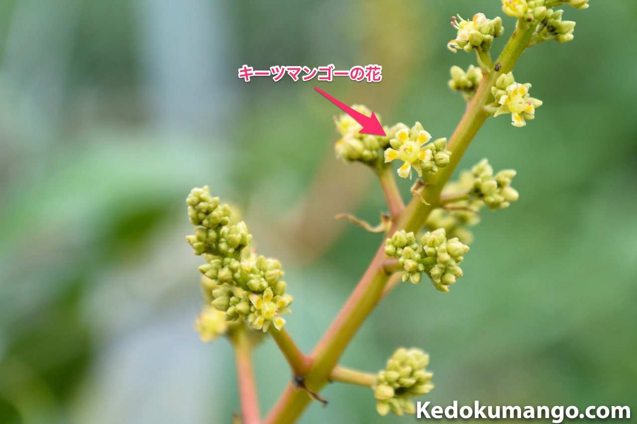 キーツマンゴーの花