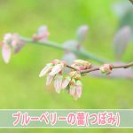 【ブルーベリー】が2017年も可愛らしい花を咲かせようとしているよ!