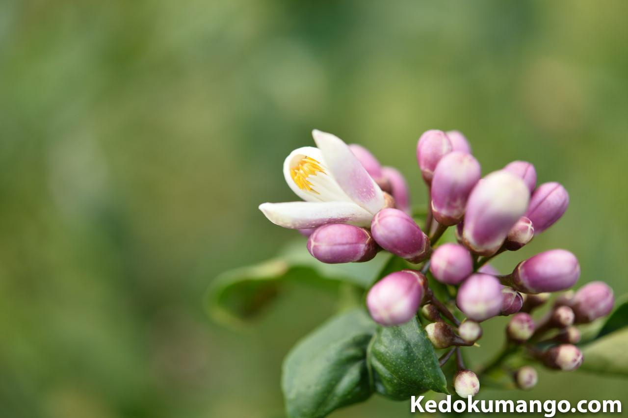 開花し始めたレモンの蕾