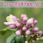 【レモン栽培】爽やかな香りが楽しみな「レモンの花」が咲き始めたよ!