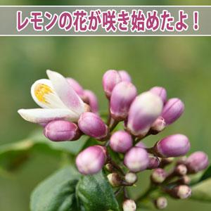 【レモン栽培】爽やかな香りが楽しみな「レモンの花」が咲き始めたよ! | 花徳マンゴー