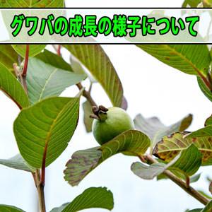 【グアバ栽培】枯れた!?と思っていた樹ですが春の訪れとともに復活してきました! | 花徳マンゴー