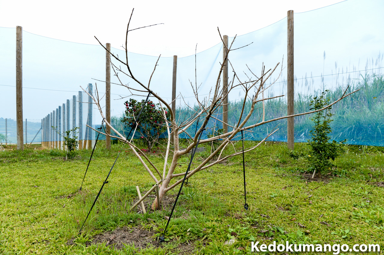 島バンシロウの樹