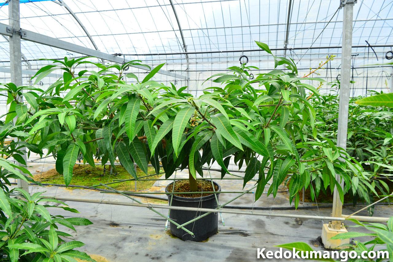 栽培開始から3年が経過したレッドキンコウ