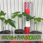 【パパイヤ栽培】苗から育てるパパイヤは最短何日で収穫できるか試してみるぞ!