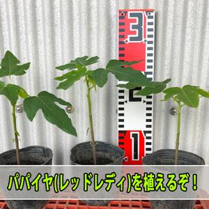 【パパイヤ栽培】苗から育てるパパイヤは最短何日で収穫できるか試してみるぞ!   花徳マンゴー