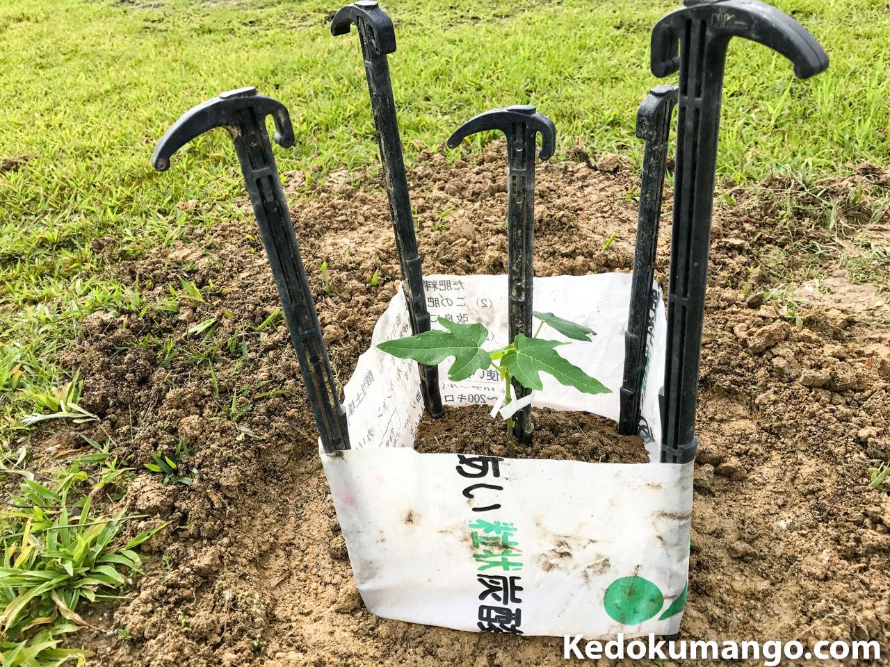 肥料袋で保護したパパイヤの苗