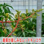 [2017年]マンゴーの品種【レッドキンコウ】に期待できそうな動きです!