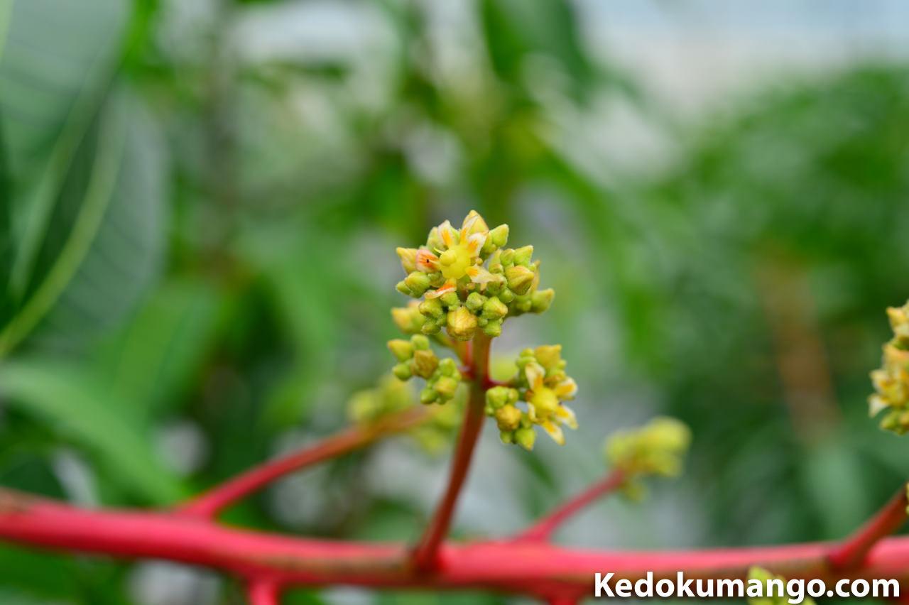 レッドキンコウの花