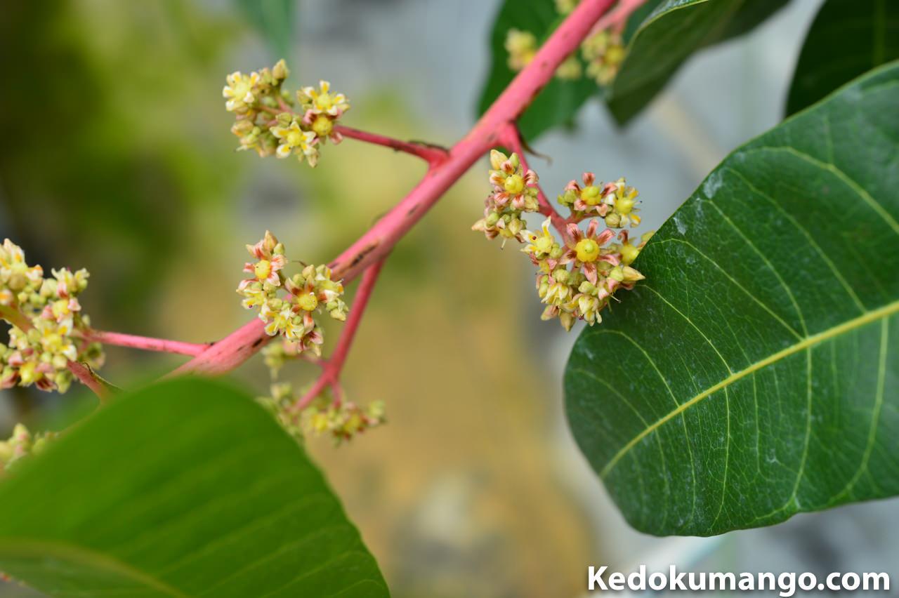 綺麗に咲くレッドキンコウの花