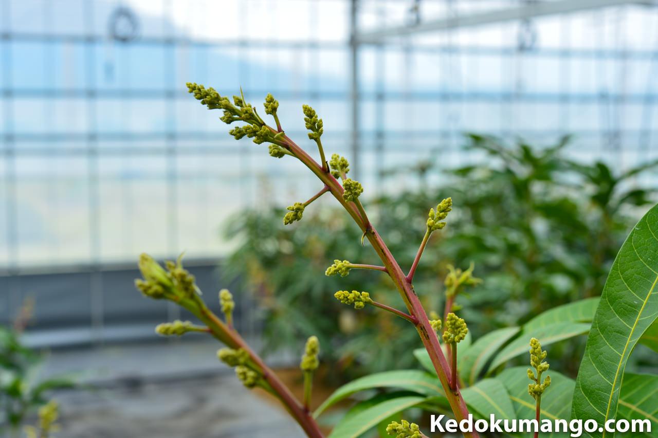 レッドキンコウの花軸