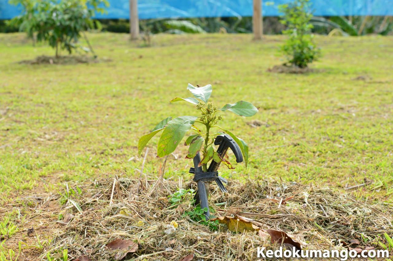 定植から3ヶ月が経過したアボカドの苗木