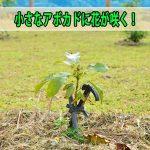 沖縄からやってきた【アボカド】の苗木が素晴らしい成長を見せています!