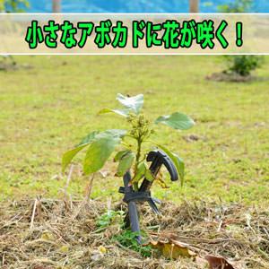 沖縄からやってきた【アボカド】の苗木が素晴らしい成長を見せています! | 花徳マンゴー