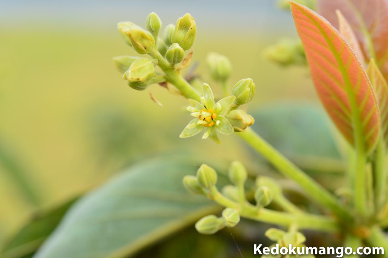アボカドの花