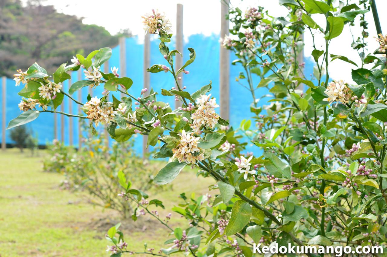 萎れたレモンの花