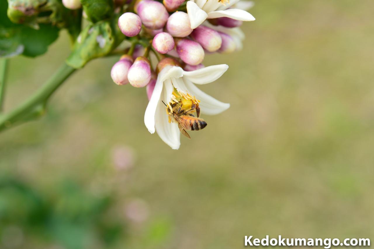 レモンの花粉を集めるミツバチ