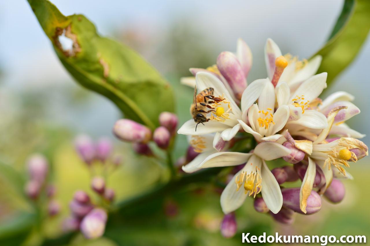 レモンの花にとまるミツバチ