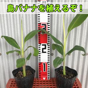 濃厚な甘みと豊かな香りが魅力の【島バナナ】を育てるぞ! | 花徳マンゴー