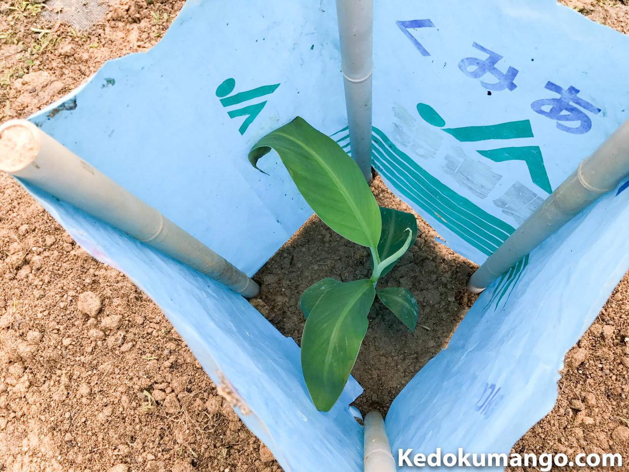 肥料袋の中の島バナナの苗木