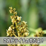 日本国内では少量しか栽培されていない【ライチ】の花を紹介するよ!