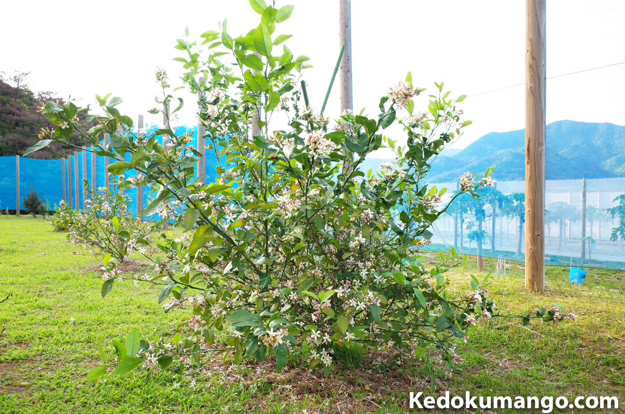 4月上旬のレモンの樹